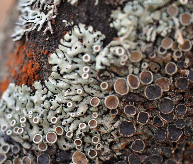Lichen http://lisakimmorley.com/2013/01/27/im-lichen-it/
