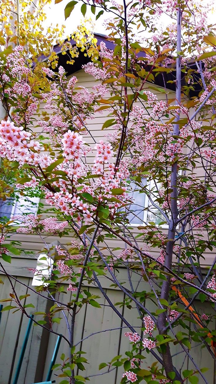 Mayday Tree - Pink flowers in spring