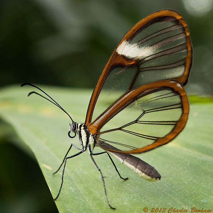 Costa Rican Clearwing Butterfly At The Annual Spring Exhibit At Dow Gardens  In Midland, Michigan, Photo By Charles Bonham, Mar.