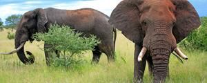http://www.bbc.com/earth/story/20141101-male-elephants-have-a-sweet-side
