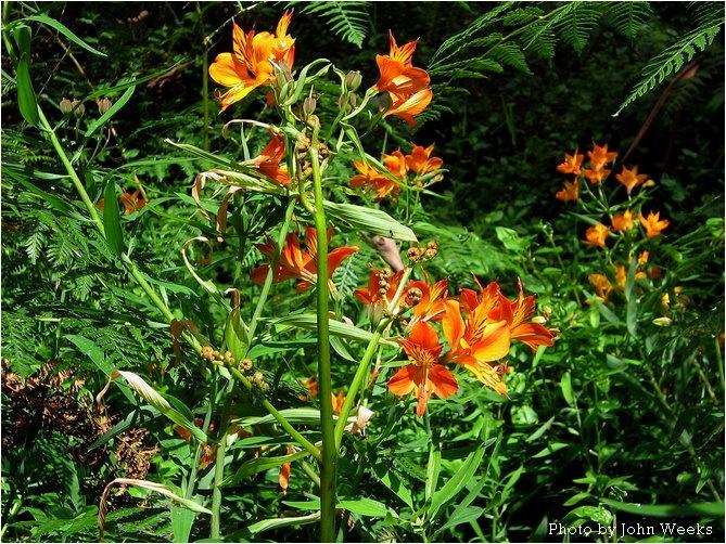 (Alstroemeria) Butterfly Hybrids