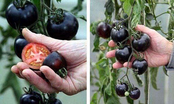 La tomate noire est un fruitqui contient desanthocyanes, un antioxydant qui peut aider dans la lutte contre le cancer, car il tue les cellules cancéreuses. Elle a été cultivée pour la première fois en Grande-Bretagne. Ellea été découverte par Ray Brown (un jardinier de 66 ans). Un de ses clients lui a envoyé un paquet …