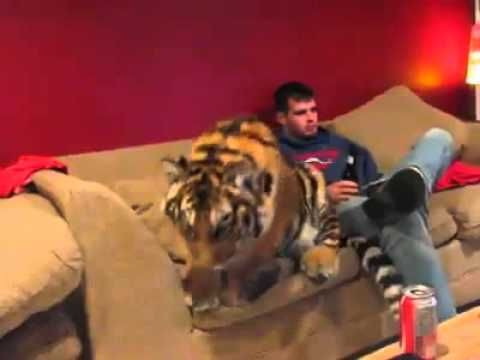 harimau si kucing besar yg manja - YouTube