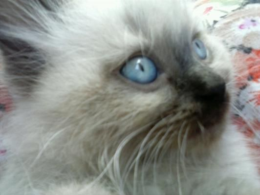 Extraordinario gatito persa-himalayo