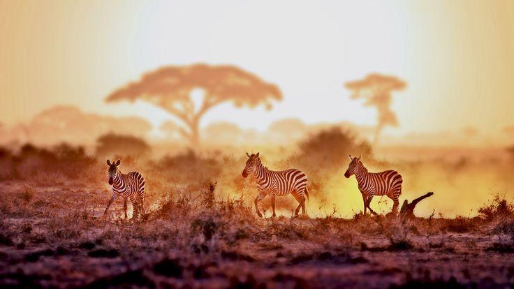 金秋草原斑马奔 - 拍摄于肯尼亚