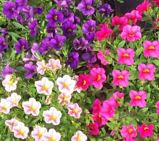 Les 25 meilleures id es de la cat gorie plantes for Plante pour bordure plein soleil