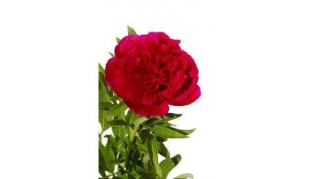 #Pivoine rouge #fleurs #mariage #wedding #bouquet #francefleurs