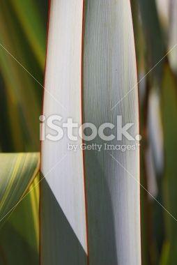 New Zealand Flax (Phormium) Royalty Free Stock Photo