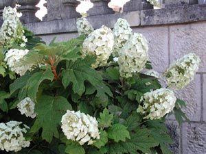 Best 25 hydrangea quercifolia ideas on pinterest oakleaf hydrangea landscape oak leaf - Entretien et coupe des hortensias ...