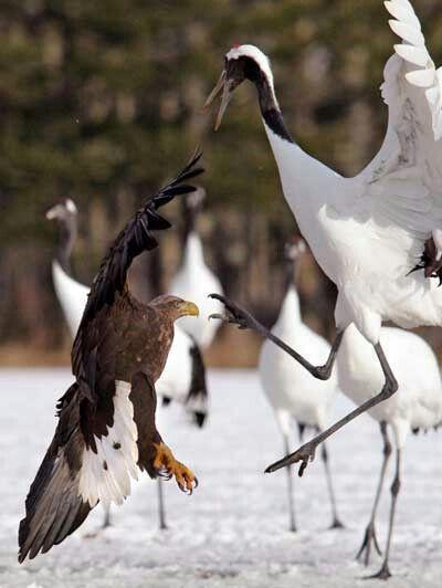 丹頂鶴とオジロワシ