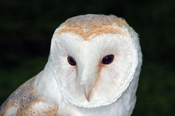 Barn owl by Stefan Drew | Barn owl, Owl, Prints for sale