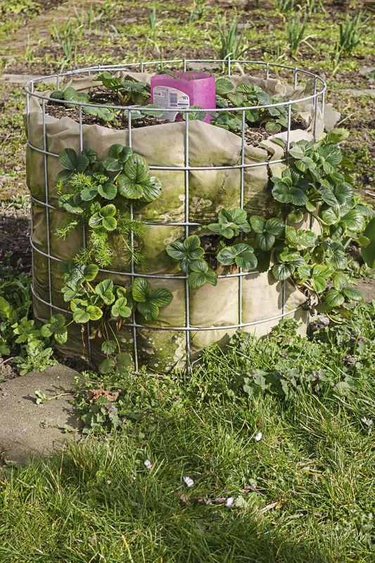 Beim Besuch in der Klostergärtnerei Maia Laach habe ich im letzten September eine Palette Erdbeerpflanzen der Sorte Mieze Schindler Nova entdeckt. Ich konnte nicht widerstehen. In unserem Kleingarten wachsen einige Pflanzen der echten Mieze Schindler. Die Früchte schmecken sehr lecker. Aber leider