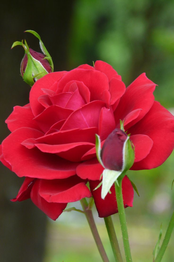 Red rose rosa 39 isabel renaissance 39 perfectly beautiful Beautiful flowers photos