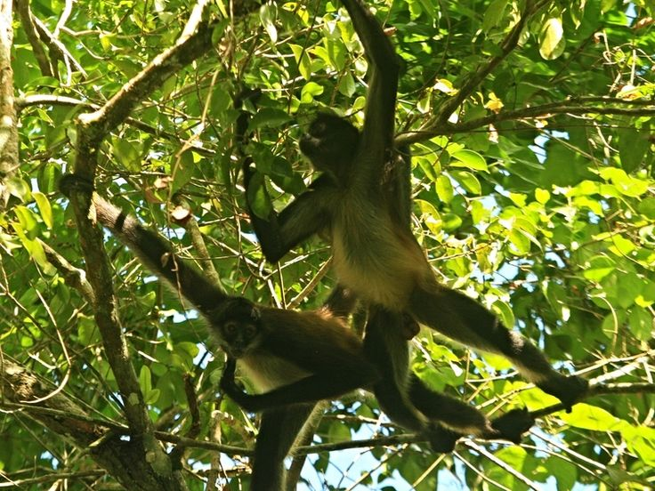 Spider #Monkeys in the Rio Bravo Conservation Area. #BelizeVacationPackages #SabreWingTravel #ProgramForBelize #LaMilpa