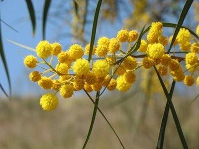 Acacia (or Wattle)