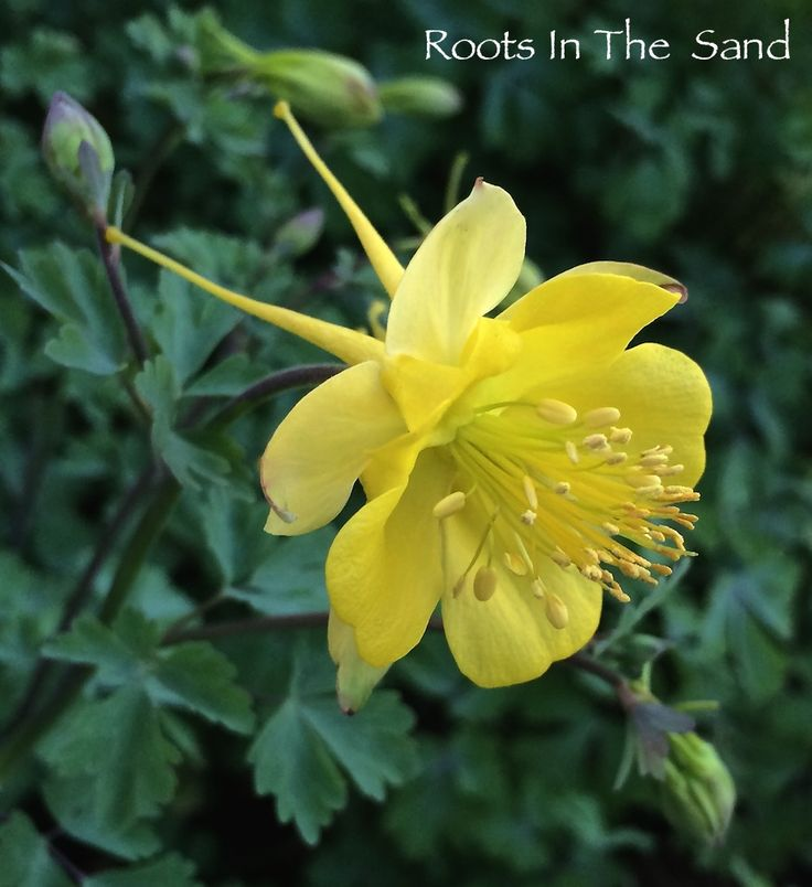 1000 Images About Columbine On Pinterest: 1000+ Images About Aquilegia (Columbines) On Pinterest