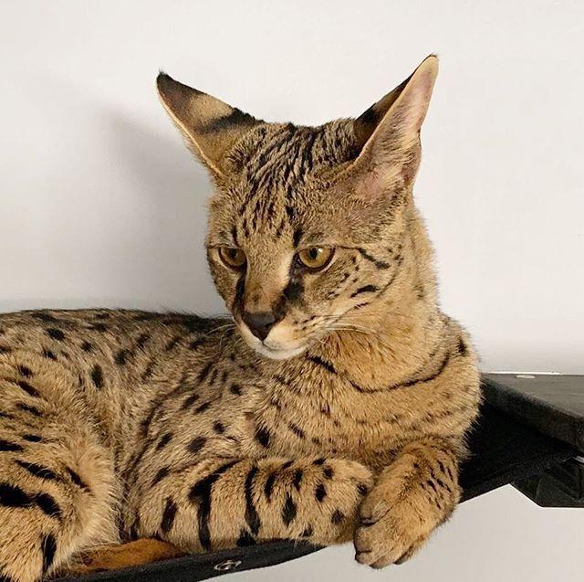 F1hybrids Savannah Cats Kucing Munchkin Serval Kandang Kucing