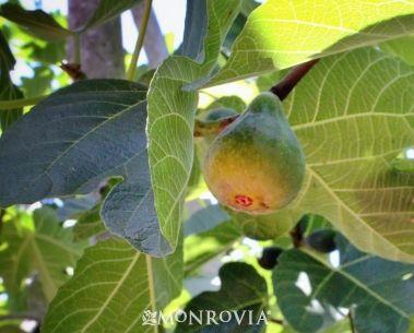 Blackjack semi dwarf fig tree
