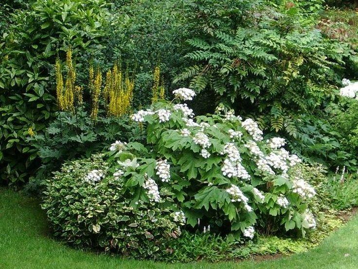 Ortensia quercifolia caratteristiche