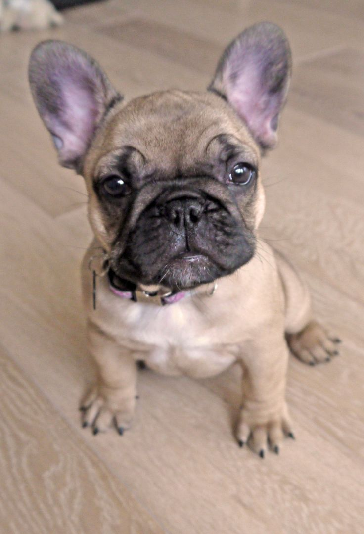 What colors and color patterns do Frenchies come in ...