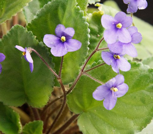 Violetta - Violetta africana - Saintpaulia - Gesneriaceae - Coltivazione delle piante di violetta africana - www.elicriso.it