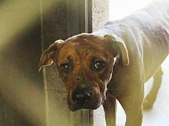Mesa, AZ - Boxer/American Pit Bull Terrier Mix. Meet HOLDEN, a dog for adoption. http://www.adoptapet.com/pet/19196420-mesa-arizona-boxer-mix