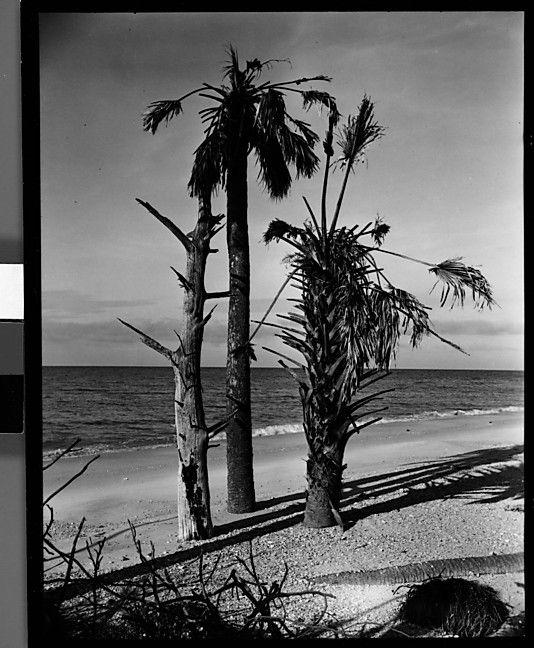 Palm Beach Chic Circa 1990s: [Three Palm Trees On Beach, Florida] Walker Evans