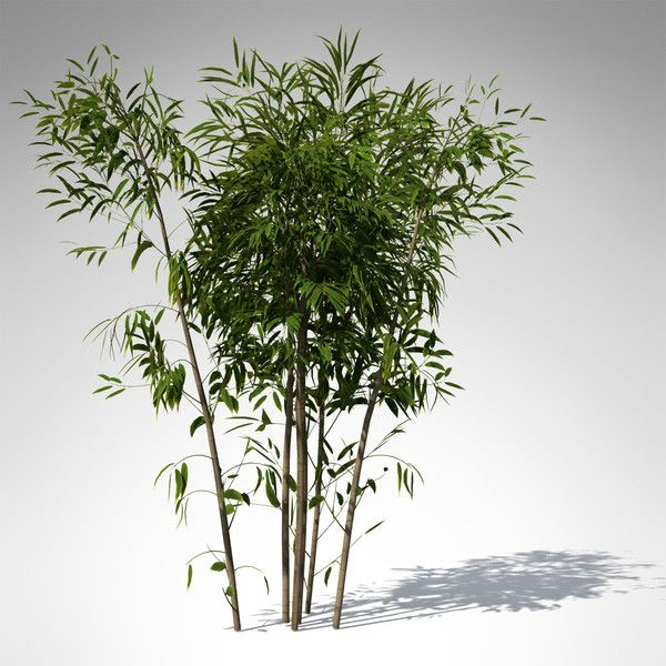 golden bamboo plant 3d max - XrogPlants Golden Bamboo... by xfrog