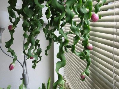 Epiphyllum Cactus Info: How To Grow Curly Locks Cactus -  Curly locks has curly, curved stems which are the result of a mutation. If you know someone with the plant, it is easy to learn how to grow curly locks from stem fragments. This article will help get you started.