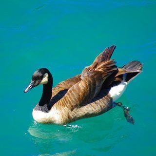 Первый раз вижу такого лебедя не в театре, а на воле, на реке Ниагара. Снято на зум с горы.