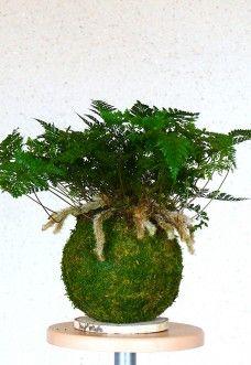 Kokedama Davallia 'Pattes-de-lapin' Le Davallia 'pattes-de-lapin', est une fougère originaire de la Malaisie et pousse généralement en épiphyte. Avec un feuillage vert sombre de forme triangulaire, elle ... Plantes vertes
