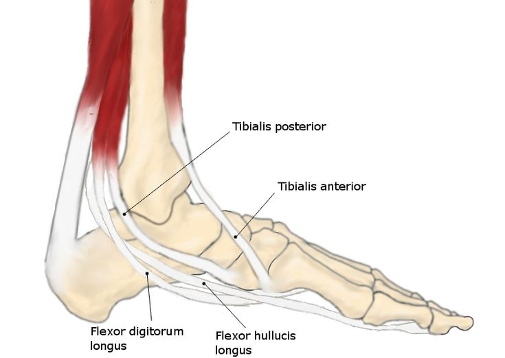 Posterior tibial tendon anatomy