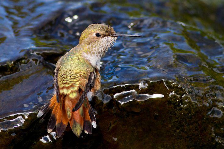(Not) Flying South for the Winter   Audubon - Rufous Hummingbird. Photo: Ron Racine/Audubon Photography Awards