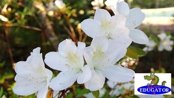 This is a high quality photo of White Azalea flowers in bloom. My husband and I take all our own photos. These flowers are in our yard. The image is 300 dpi, fit to 4 x 6 inches. This White Azalea flower dollar stock photo is available in my flowers bundle set 1.
