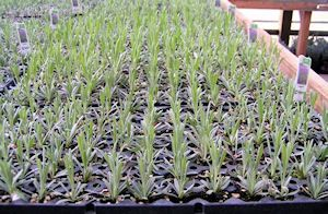 Lavender planted in 2012 in the sand box.  Have no idea the variety.