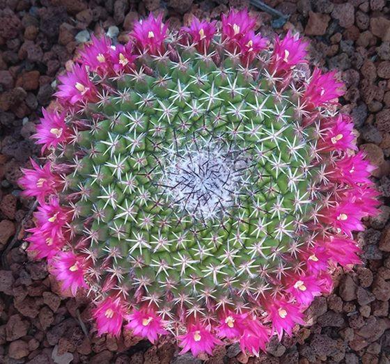 10 jenis Tanaman Kaktus Hias yang Dapat Ditanam di Rumah - http://bibitbunga.com/blog/10-jenis-tanaman-kaktus-hias-yang-dapat-ditanam-di-rumah/