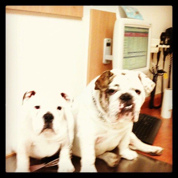 Mejores 109 imágenes de Bulldog Lover en Pinterest | Bulldog inglés ...