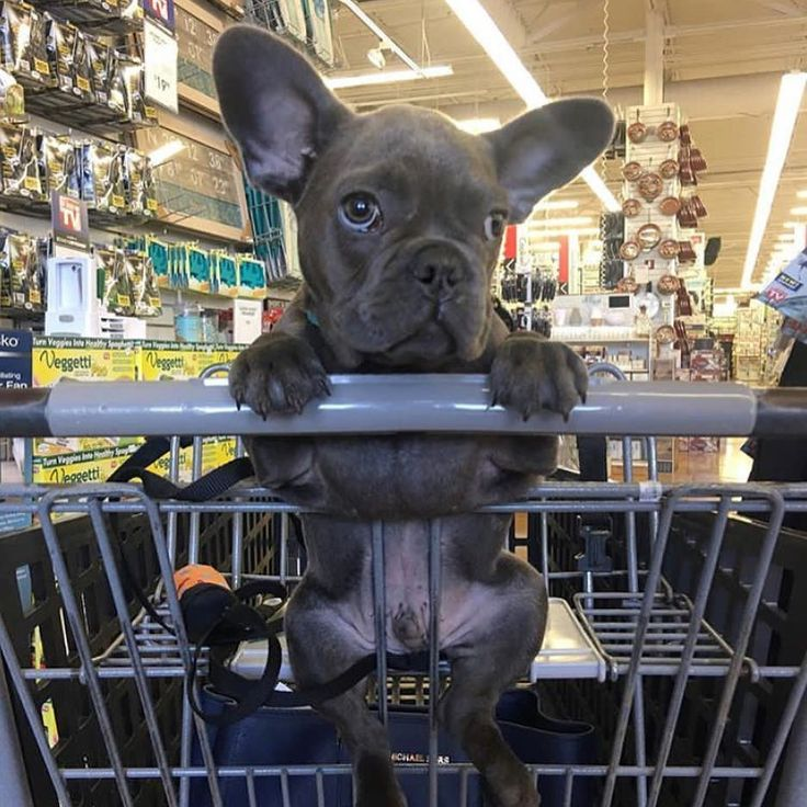 Shopping Time  for a Blue French Bulldog Puppy