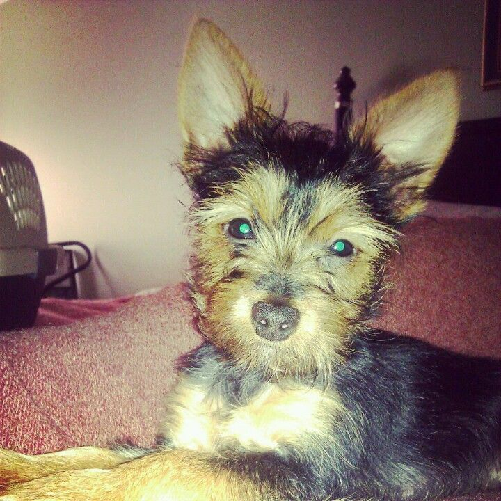Ace. Yorkie Poodle & Chihuahua mix | puppies | Pinterest