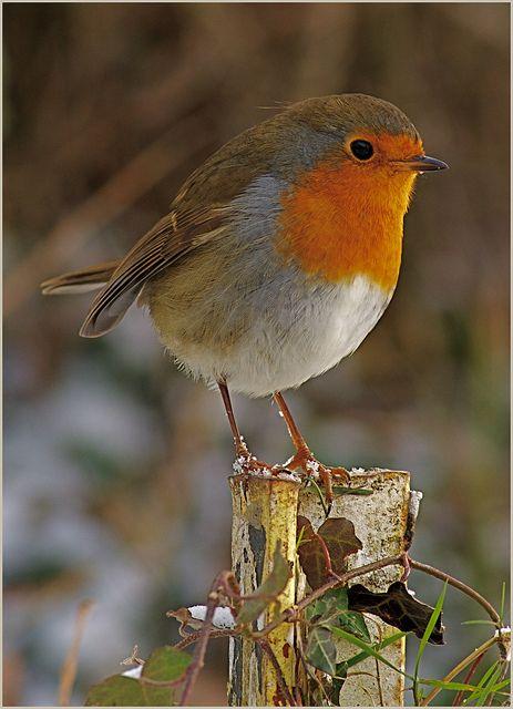 Rougegorge familier / European robin / Erithacus rubecula.