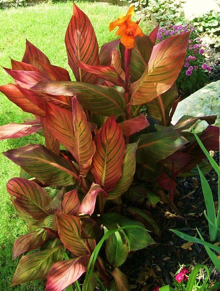 canna lily 'tropicanna'