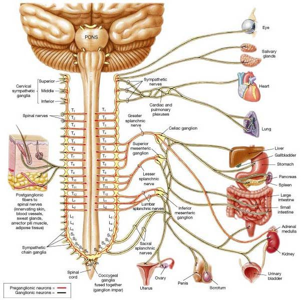 Spinal Cord and Autonomic NS