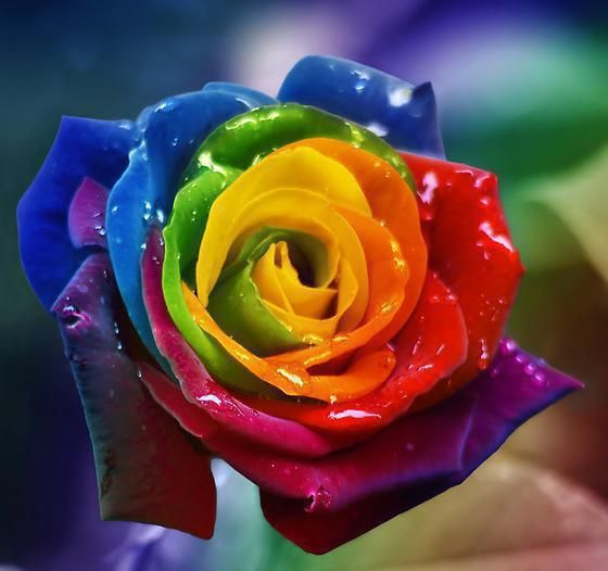 17 best images about rainbow colored roses on pinterest for Where to get rainbow roses