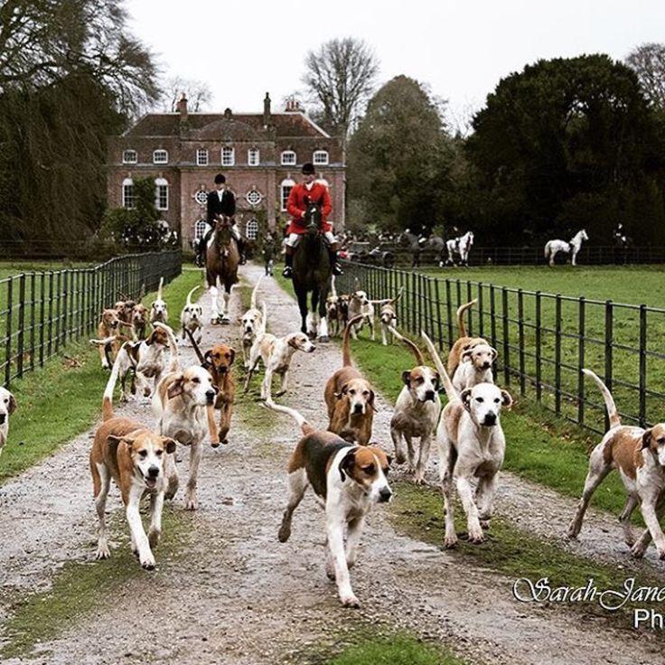 78 Best Virginia Foxhound Images On Pinterest Fox