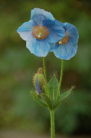 Himalayan Poppies (meconopsis): Meconopsis is a genus of flowering plants in the family Papaveraceae. It was first described by French botanist Viguier in 1814 who named it as poppy-like (from Greek mekon poppy, opsis alike). The species have attractive flowers and have two distinct ranges. A single species, Meconopsis cambrica (Welsh poppy), is indigenous to England, Wales, Ireland, and the fringes of Western Europe, although recent studies suggest that it does not belong in the genus. The…