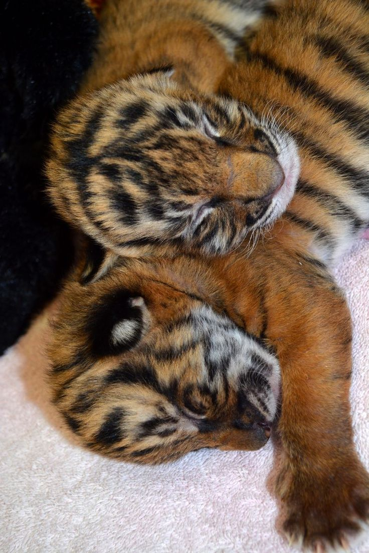 Critically Endangered Tiger Brothers at the Virginia Zoo
