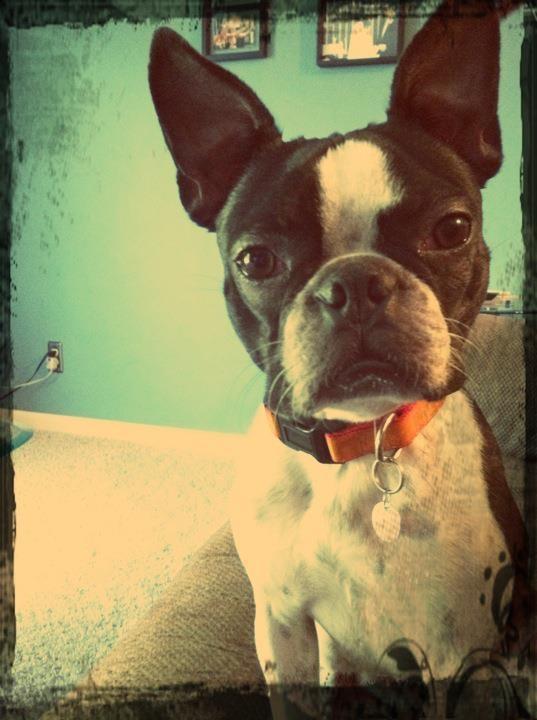 my baby bostonBoston Love 3, Guilty Pleasure, Dogs Lovers, Legs Baby, Boston Terriers, Baby Boston, Mom Lovers, Boston Mom, Cutest Animal