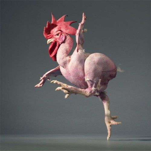 chicken dancing even without feathers - Tim Flach