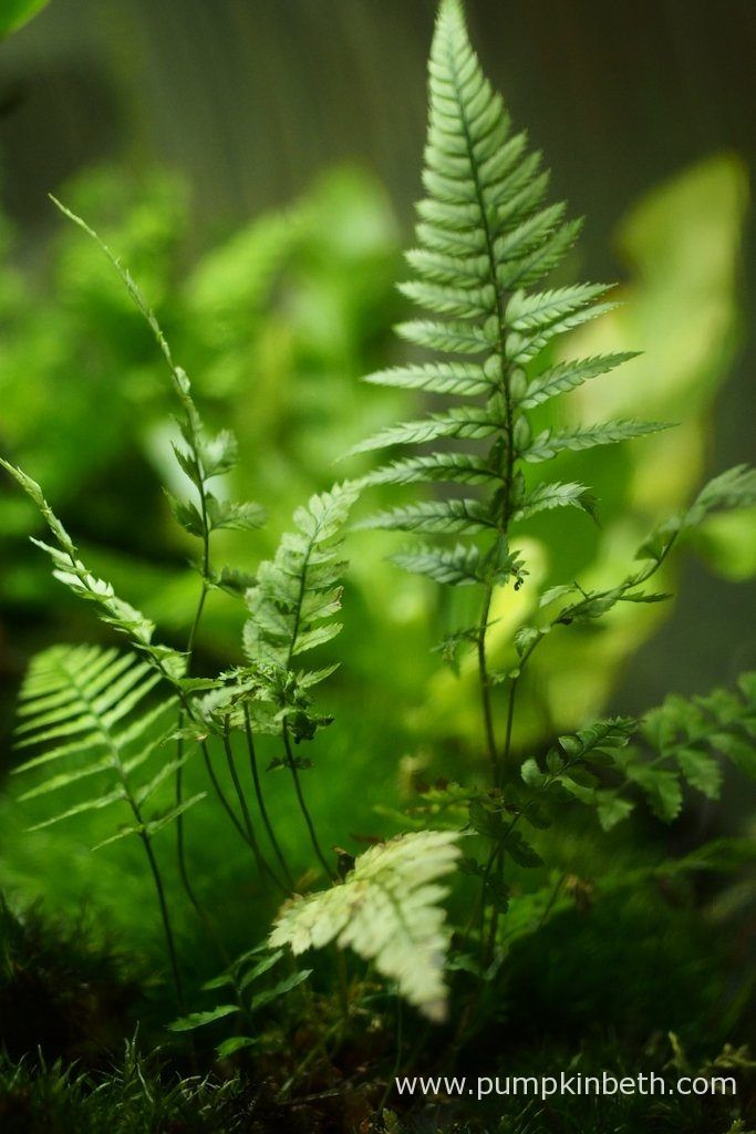 Here's my Polystichum tsussimense, as pictured on the 10th May 2016, inside my BiOrbAir terrarium.  This is another fern that was included in my original planting of this terrarium in September 2014, since then this Polystichum has been moved, divided, and then moved a number of times more.  This fern has been a super addition to this terrarium.