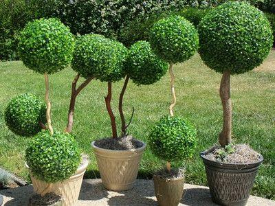 Декларативное растение Самшит или Буксус. Ценное декоративное, вечнозеленое растение